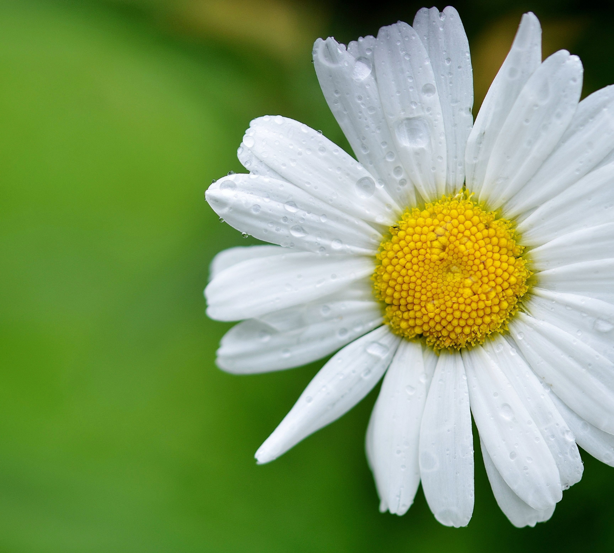 White Daisy with a green leaf in the background